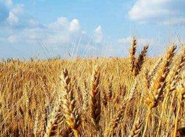 Vanzare  terenuri agricol  50 ha Timis, Beregsau Mare  - 7000 EURO